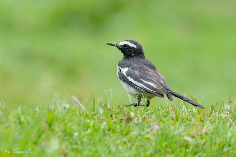 White Browed Wagtail from Pampadum Shola