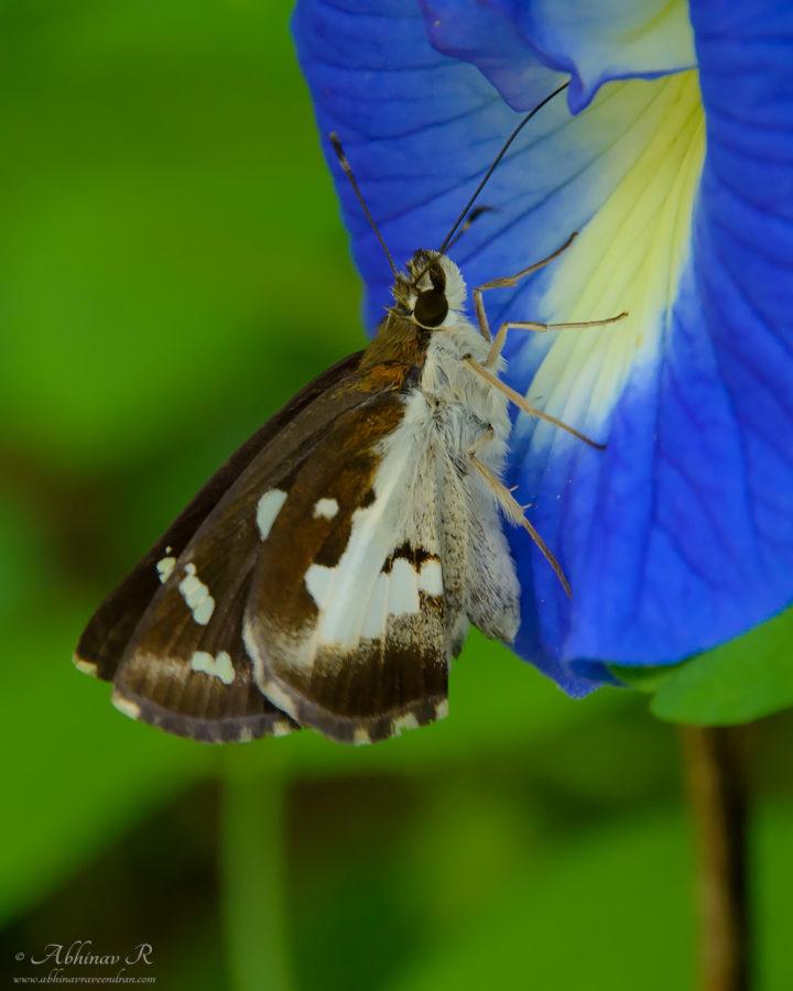 Grass Demon Butterfly - Udaspes folus