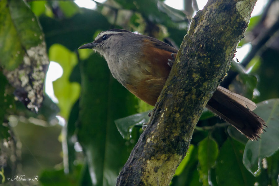 Kerala Laughing Thrush - Pampadum shola