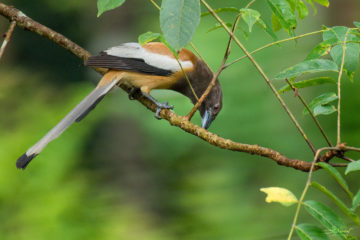 Rufous Treepie - Birds of Kerala