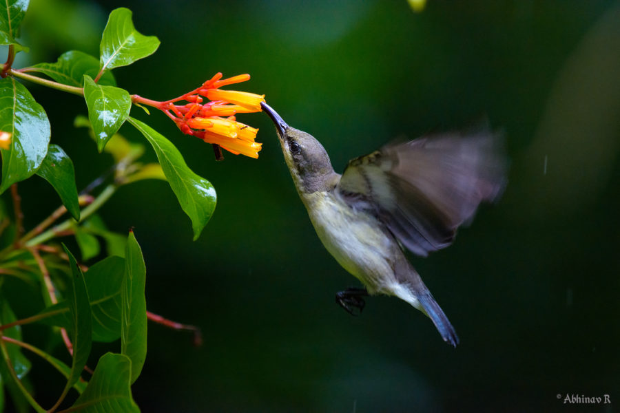 Lotens Sunbird in Flight - Birds of Kerala