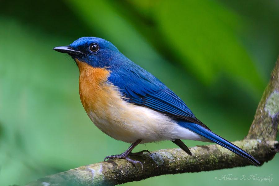 Tickell's Blue Flycatcher - Cyornis tickelliae