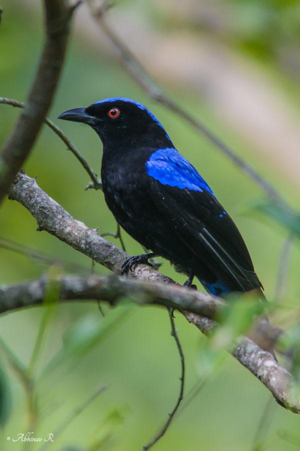 Asian Fairy Bluebird from Chinnar, Kerala