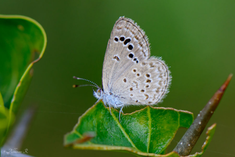 Lesser Grass Blue - Zizina otis