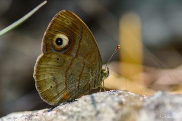 Malabar Gladeye Bushbrown (Mycalesis junonia)