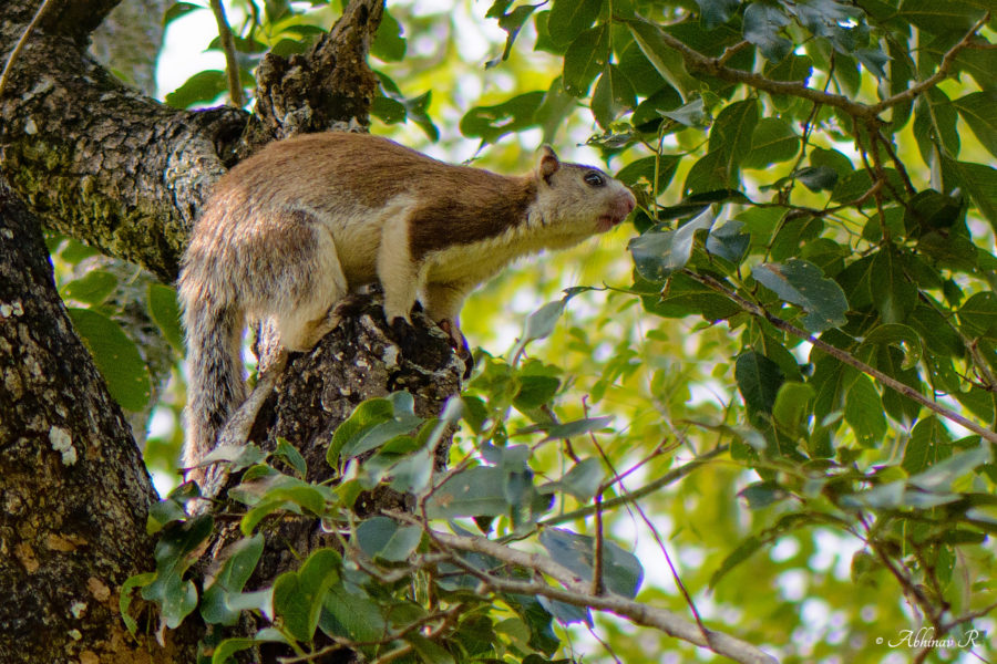 Grizzled Giant Squirrel from Chinnar