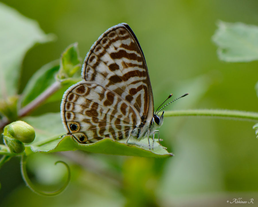 Zebra Blue Butterfly - Leptotes plinius from Chinnar
