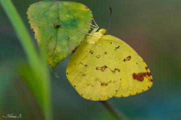 Common Grass Yellow - Eurema hecabe