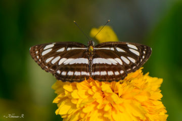 Common Sailer Butterfly - Neptis hylas