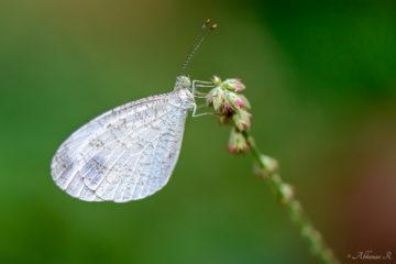 Leptosia nina - Psyche Butterfly