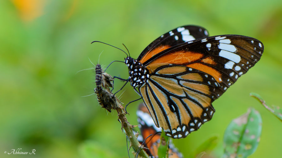 Striped Tiger - Danaus genutia