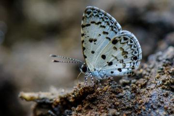 Tailless Malayan - Megisba malaya thwaitesi