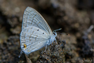 Forget Me Not - Catochryspos strabo