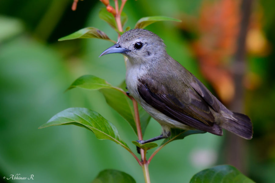 Nilgiri Flowerpecker - Dicaeum concolor - Birds of Kerala