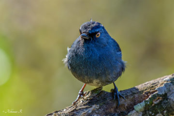 White-bellied Blue Robin - Myiomela albiventris - from Pampadumshola
