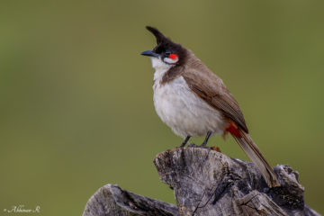 Red-whiskered Bulbul - pycnonotus jocosus
