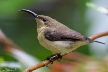 Loten's Sunbird Female - Cinnyris Lotenius