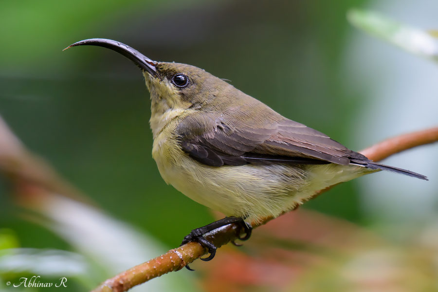 Loten's Sunbird Female - Cinnyris Lotenius - Birds of Kerala