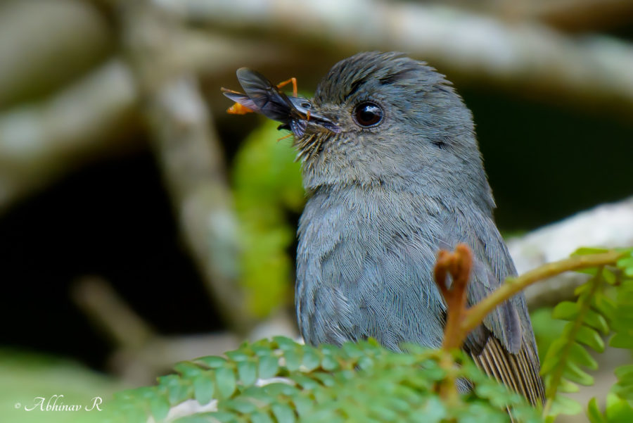 Nilgiri Flycatcher - female