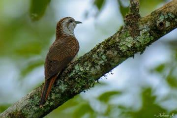 Banded Bay Cuckoo (Cacomantis sonneratii) from Urulanthanny, Thattekad