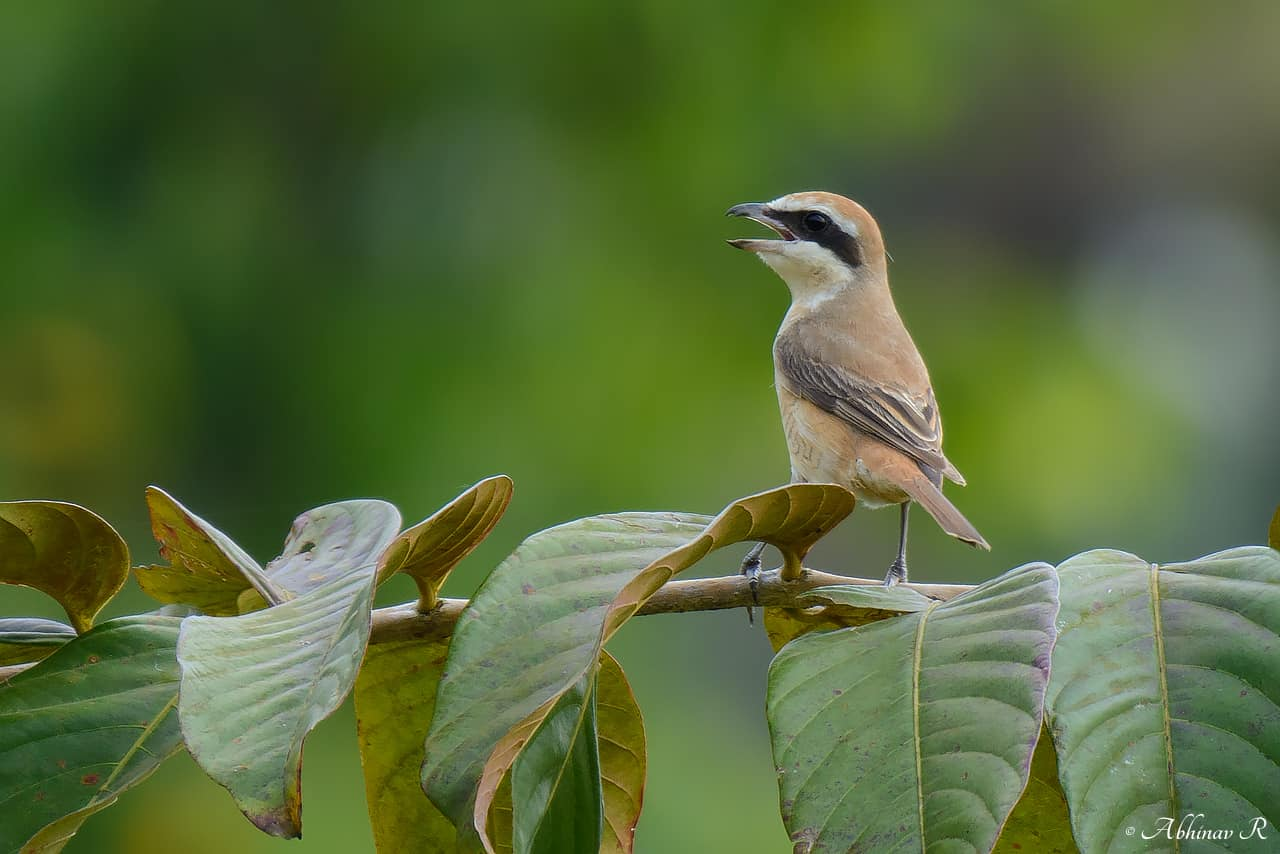 Brown Shrike (Lanius cristatus) from Thattekad