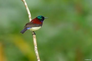 Crimson-backed Sunbird from Thattekad