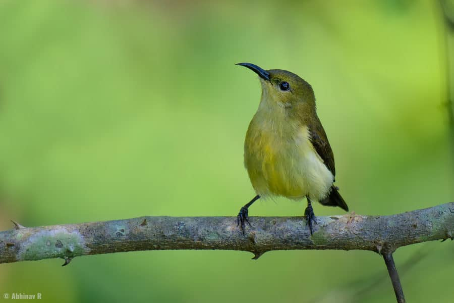 Crimson-backed Sunbird (female) from Urulanthanny, Thattekad
