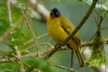 Flame-throated Bulbul (Pycnonotus gularis) from Urulanthanny, Thattekad