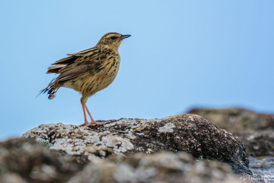 Nilgiri Pipit - a Western Ghats endemic bird