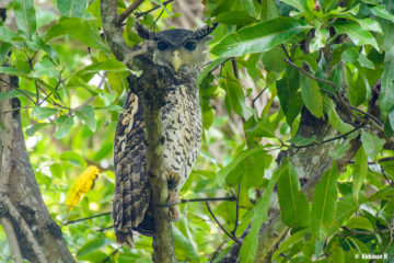Spot-bellied Eagle Owl (Bubo nipalensis) from Chinnar Wildlife Sanctuary in Kerala