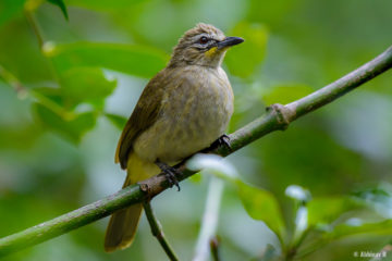 White-browed Bulbul (Pycnonotus luteolus) from Chinnar, Kerala