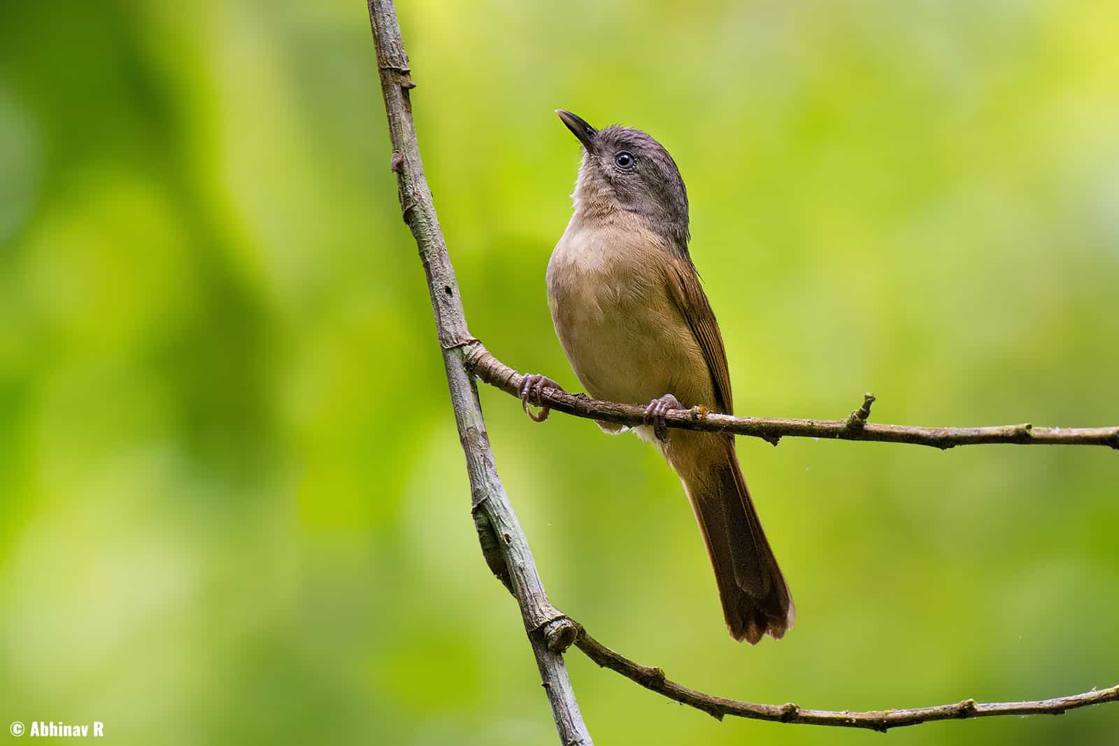 Brown-cheeked Fulvetta (Alcippe poioicephala) from Thattekad, Kerala