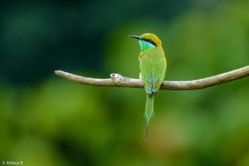 Green Bee-Eater (Merops orientalis) from Thattekad, Kerala