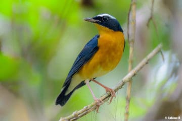 Indian Blue Robin (Larvivora brunnea) from Thattekad, Kerala