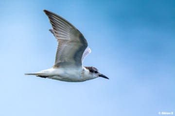 Whiskered Tern (Chlidonias hybrida) from Periyar River, Thattekad