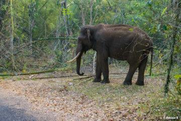 Indian Elephant from Masinagudi