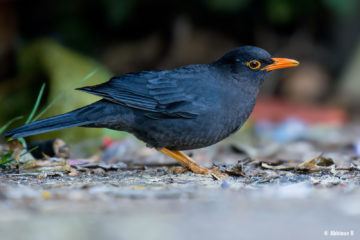 Indian Blackbird (Turdus simillimus) from Ooty