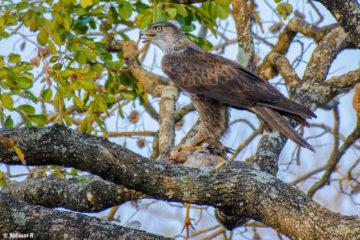 Eagle from Masinagudi