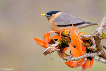 Brahminy Starling (Sturnia pagodarum) from Masinagudi