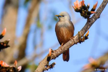 Chestnut-tailed Starling (Sturnia malabarica) from Masinagudi
