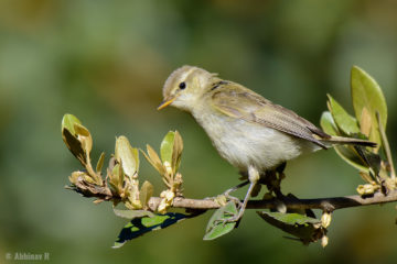 Greenish Warbler from Ooty