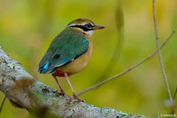 Indian Pitta (Pitta brachyura) - Masinagudi
