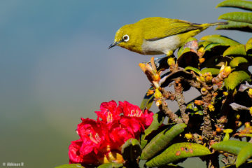 Oriental White-eye (Zosterops palpebrosus) from Ooty