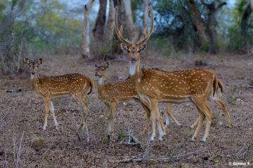 Spotted Deer (Chital) - Masinagudi