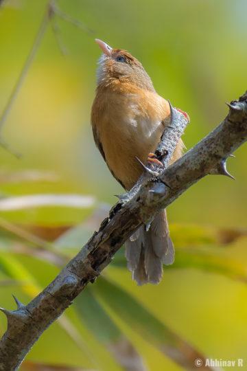 Tawny-bellied Babbler (Dumetia hyperythra) from Masinagudi, The Nilgiris