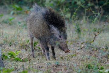 Wild Boar from Masinagudi, Mudumalai National Park