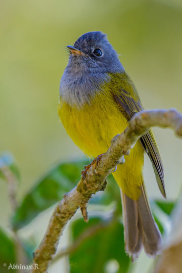 Grey-headed Canary-flycatcher - photo from Munnar - Birds of Kerala