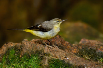 Grey Wagtail photo from Munnar, Kerala