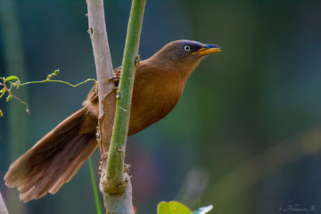 Rufous Babbler from Munnar - Kerala - photo by Abhinav R