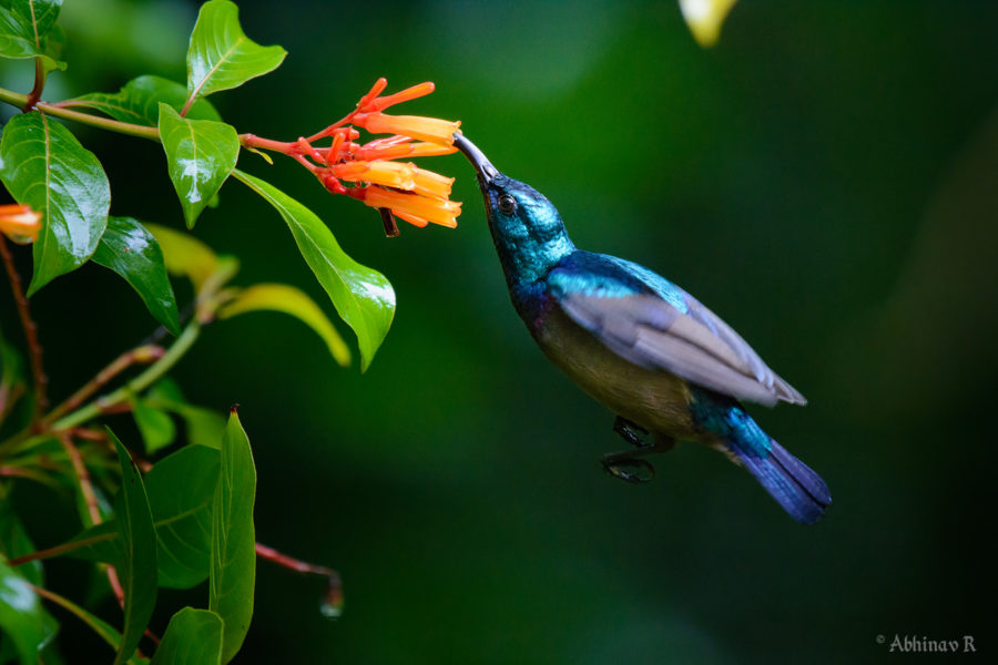 How to photograph Sunbird in Flight - Loten's Sunbird
